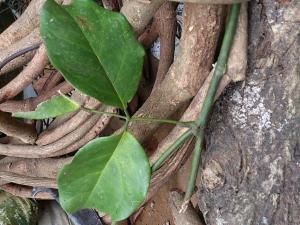 7 tác dụng của cây huyết đằng - cây cỏ máu
